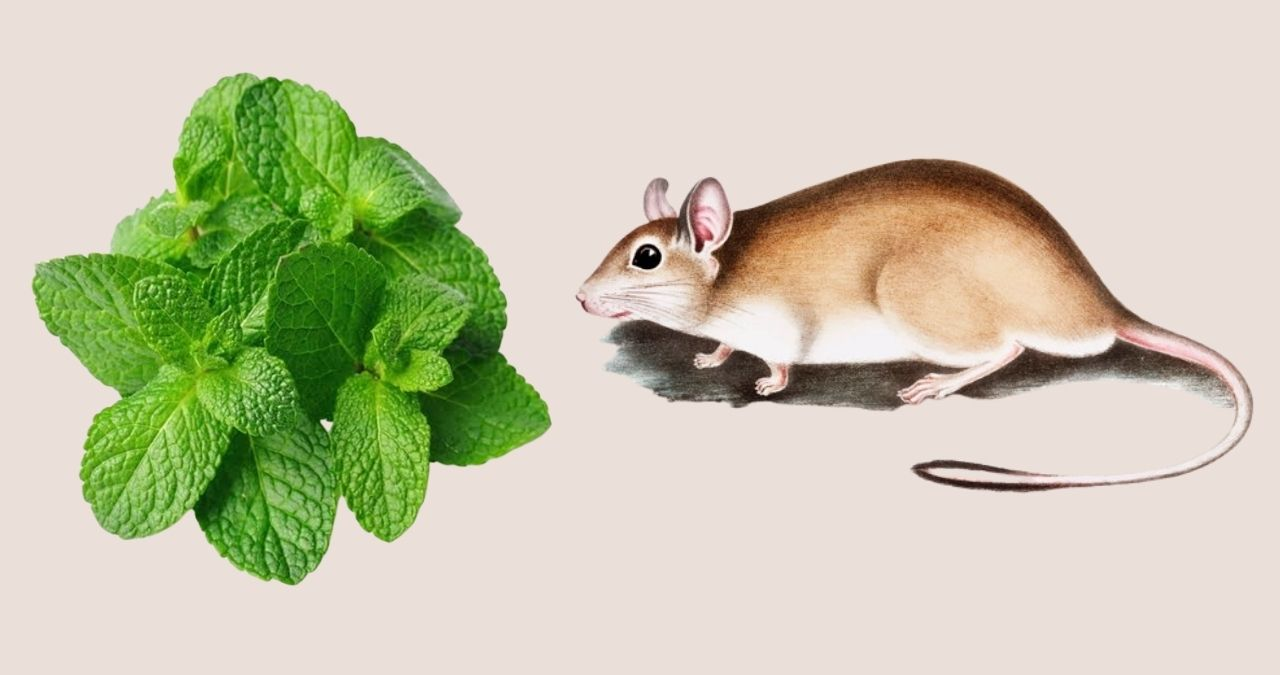 Home remedies to get rid of rat